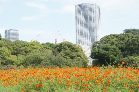 キバナコスモス花盛り