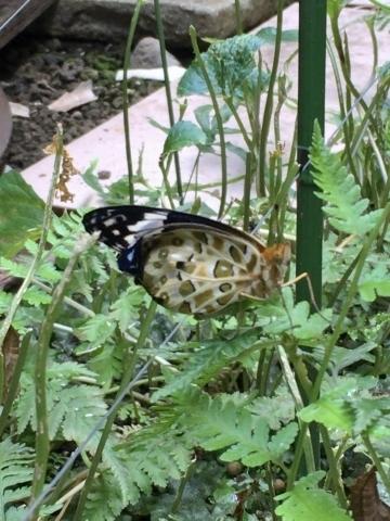 翅の大きさが違うツマグロヒョウモン