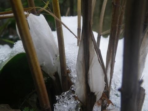 シモバシラの氷柱2