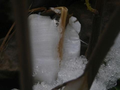 シモバシラの氷柱5