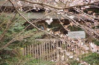 桜にカワセミ