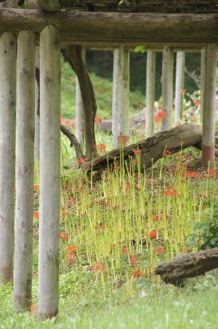 藤棚の下の彼岸花
