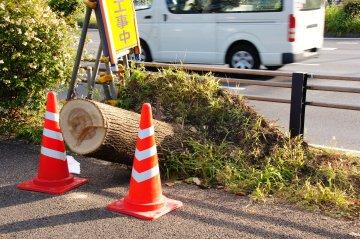 倒された街路樹2.JPG