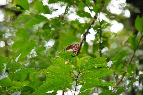 樹上のアサギマダラ