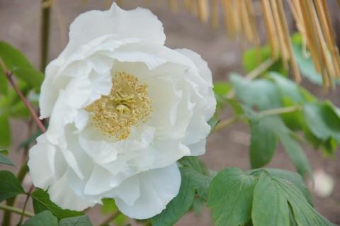 白いボタンの花