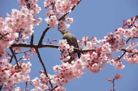 寒桜を愛でるヒヨドリ