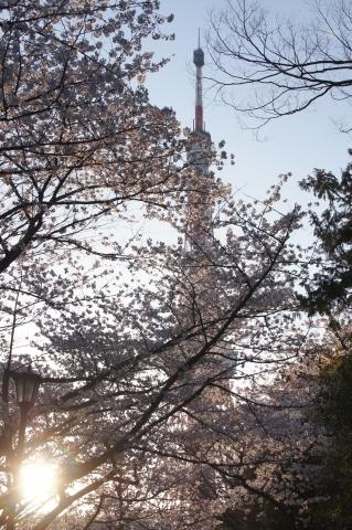 夕日と桜と東京タワーと2