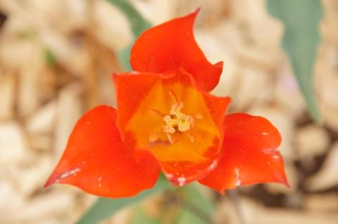 チューリップ:シナエダオレンジ
