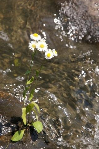 水の中の春紫苑
