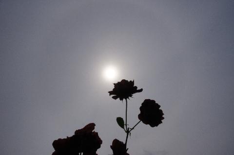 太陽にキスするバラ
