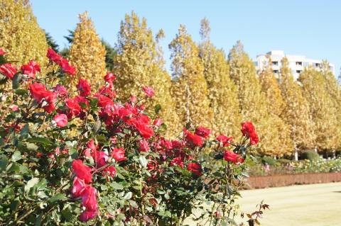 真赤なバラとプラタナス並木