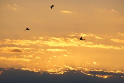 夕焼けの中を飛ぶサギ