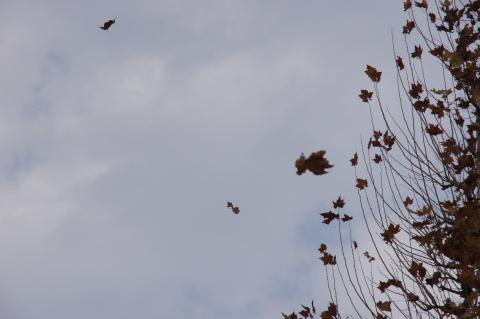 風に飛ばされるプラタナスの葉