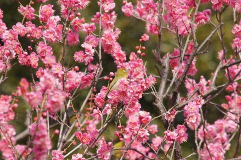 梅の花の蜜を吸うメジロ