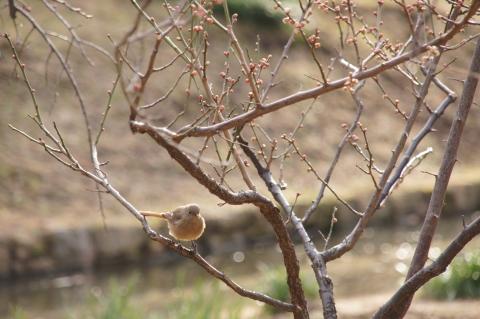 もうすぐ咲きそうな梅とジョウビタキ