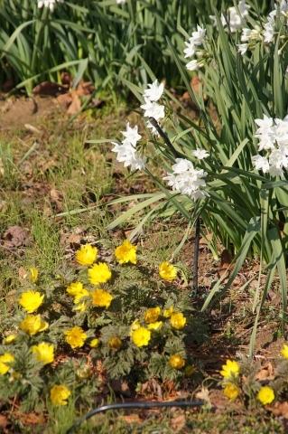 水仙の花とフクジュソウ