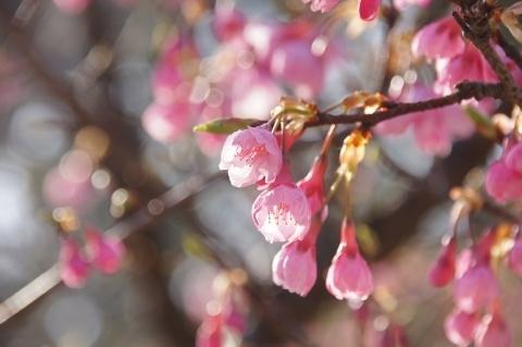 日差しを浴びる琉球寒緋桜