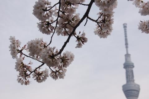 サクラと東京スカイツリー