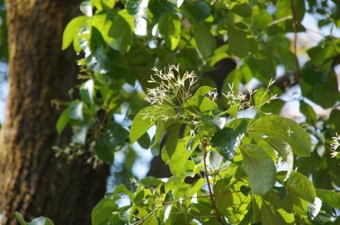 樹上のヒトツバタゴの花
