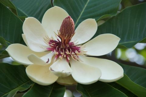盛りを過ぎたホオノキの花