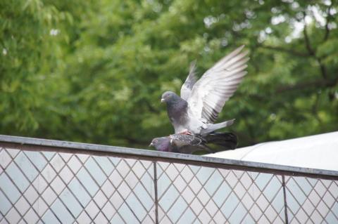 ハトの交尾