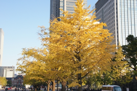 黄葉したイチョウと東京駅4