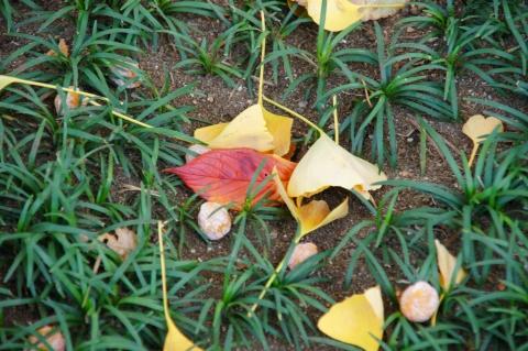 葉に寄り添ういちょうの実