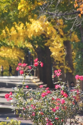 バラとイチョウ並木