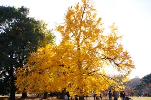 光を受けるイチョウの木