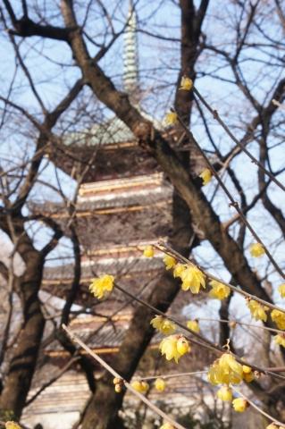 ロウバイと五重塔