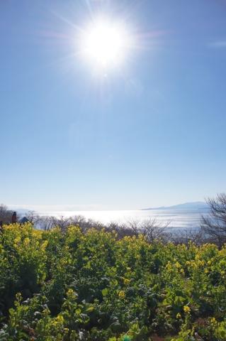 眩しい太陽と菜の花