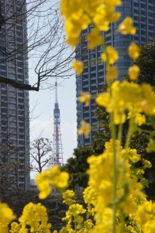 菜の花と東京タワー2
