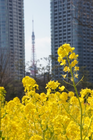 菜の花と東京タワー4
