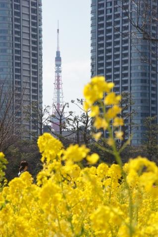 菜の花と東京タワー5