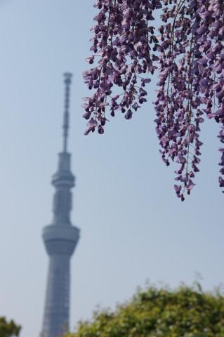 藤と東京スカイツリー