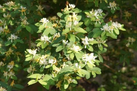 ヒョウタンボクの花