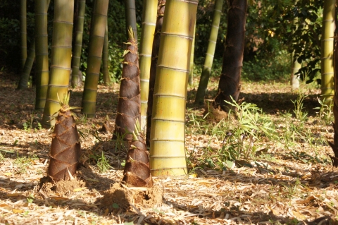 孟宗竹と浦島草