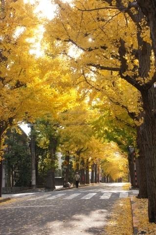 銀杏並木と落ち葉1
