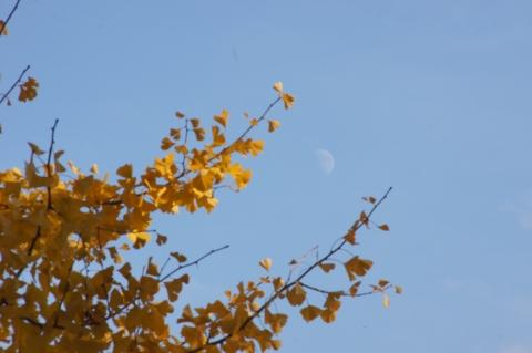 イチョウと月見