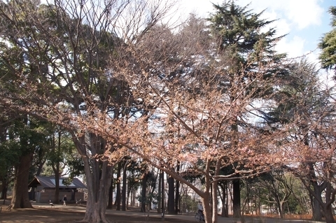咲き始めたカワヅザクラ