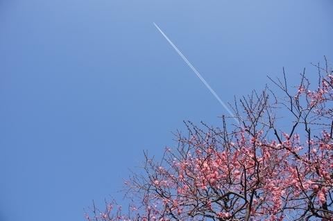 紅梅と飛行機雲
