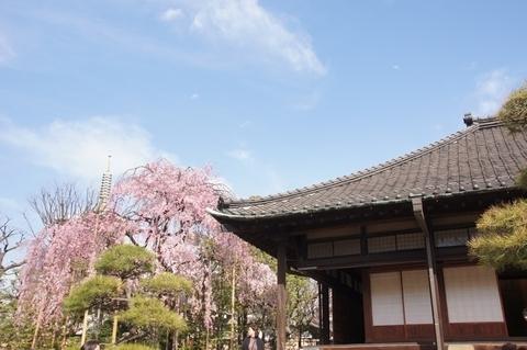 書院と枝垂桜と五重塔2