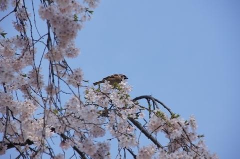 枝垂桜とスズメ