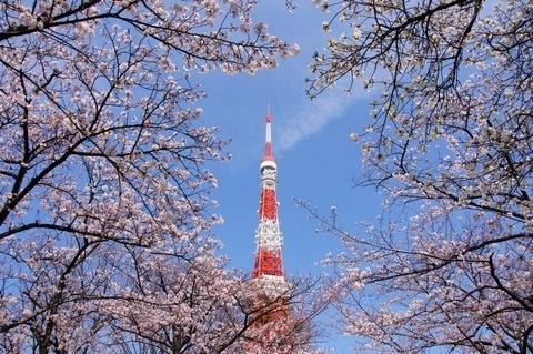 青空の下の桜に包まれた東京タワー