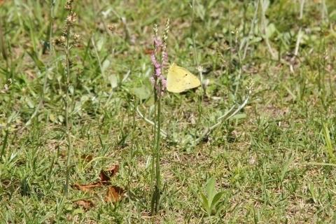 ネジバナの蜜を吸うキチョウ