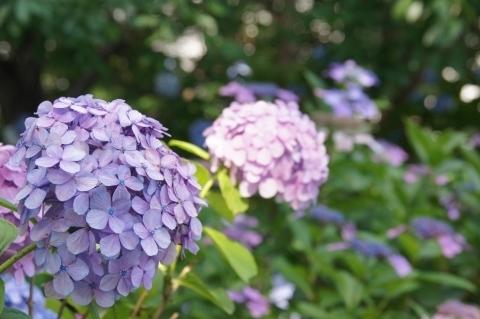多摩川台公園・紫陽花2