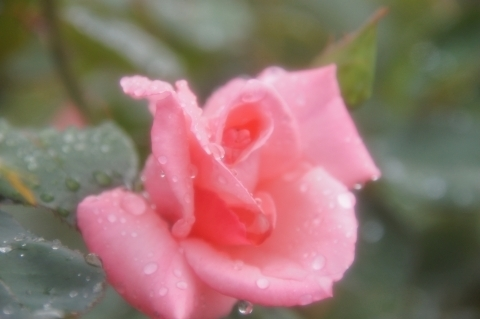 雨に濡れたバラ プリンセス・アイコ