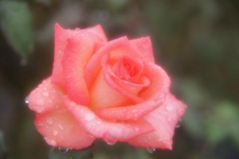 雨に濡れたバラ プリンセス・サヤコ