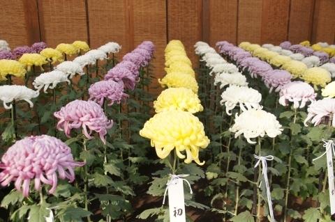 大菊の配列