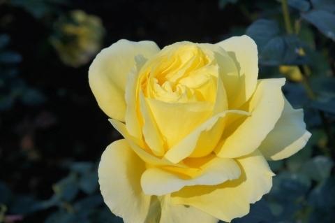薔薇・星光